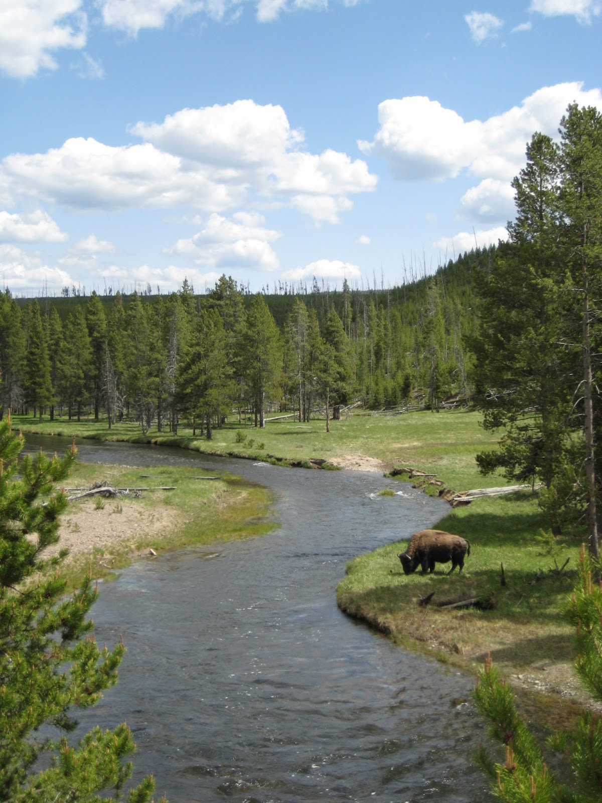Bison in Yellowstone National Park. Copyright XiaoZhi Lim 2007
